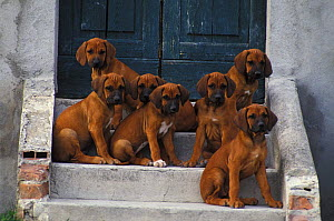 Domestic dogs, seven Rhodesian Ridgeback puppies sitting on steps.  -  Adriano Bacchella