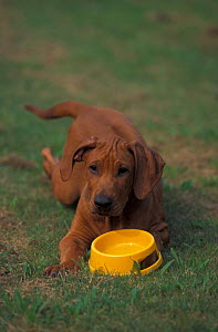 Domestic dog, Rhodesian Ridgeback puppy lying on grass in front of waterbowl.  -  Adriano Bacchella