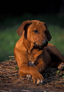 Domestic dog - Rhodesian Ridgeback puppy with front paws crossed.  -  Adriano Bacchella