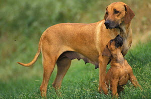Domestic dog, Rhodesian Ridgeback mother with playful pup. - Adriano Bacchella