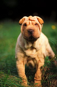 Domestic dog, young Shar Pei portrait showing wrinkles on head and chest.  -  Adriano Bacchella