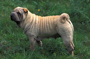 Domestic dog, Shar Pei standing in grass showing wrinkles on back.  -  Adriano Bacchella