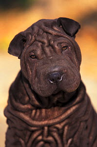 Domestic dog - black Shar Pei puppy portrait showing wrinkles face and chest.  -  Adriano Bacchella