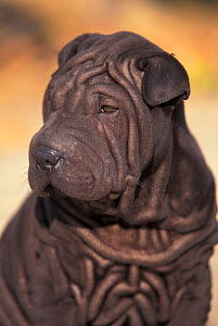 Domestic dog - black Shar Pei puppy portrait showing wrinkles on the face and chest.  -  Adriano Bacchella