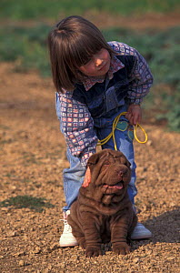 Domestic dog, Shar Pei puppy being petted by child.  -  Adriano Bacchella