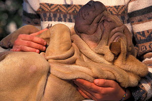 Domestic dog - Shar Pei puppy lying on its back and being cuddled, showing excess skin  -  Adriano Bacchella