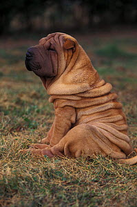 Domestic dog - Shar Pei puppy sitting down with wrinkles on back clearly visible.  -  Adriano Bacchella