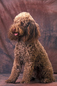 Domestic dog, brown Miniature Poodle studio portrait - Adriano Bacchella