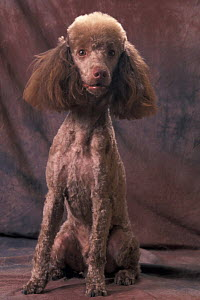 Domestic dog, brown Miniature Poodle studio portrait with full ears but most of its hair clipped. - Adriano Bacchella