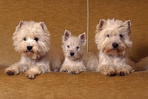 Domestic dogs - two West Highland Terriers / Westies with a puppy.  -  Adriano Bacchella