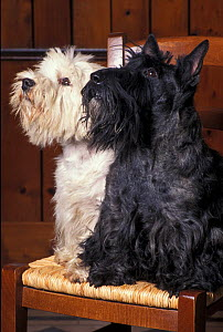 Domestic dogs, West Highland Terrier / Westie sitting on a chair with a black Scottish Terrier  -  Adriano Bacchella