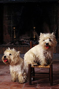 Domestic dogs, two West Highland Terriers / Westies, one sitting on a chair.  -  Adriano Bacchella