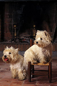 Domestic dogs, two West Highland Terriers / Westies  -  Adriano Bacchella