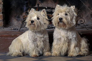 Domestic dogs - two West Highland Terriers / Westies sitting together.  -  Adriano Bacchella