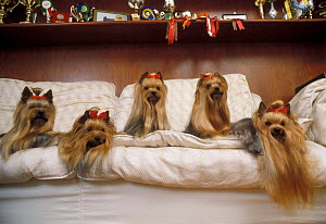 Domestic dogs, Yorkshire Terriers with hair tied up, resting on a bed, and trophies visible on shelf above. - Adriano Bacchella