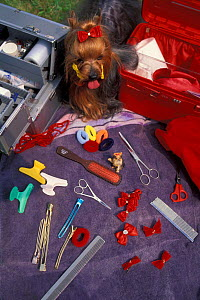 Domestic dog, Yorkshire Terrier with grooming kit.  -  Adriano Bacchella