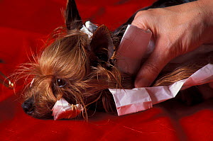 Domestic dog, Yorkshire Terrier being held down as it is groomed.  -  Adriano Bacchella