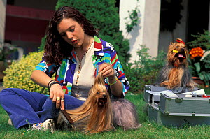 Woman brushing domestic dogs, Yorkshire Terriers.  -  Adriano Bacchella