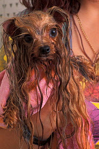 Domestic dog, wet Yorkshire Terrier wrapped in a towel.  -  Adriano Bacchella