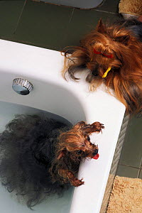 Domestic dog, Yorkshire Terrier being given a bath while another watches.  -  Adriano Bacchella