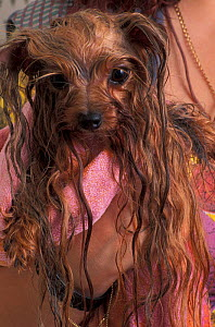 Domestic dog - wet Yorkshire Terrier wrapped in a towel.  -  Adriano Bacchella