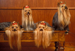 Domestic dogs - four Yorkshire Terriers on a table with hair tied up and very long hair.  -  Adriano Bacchella