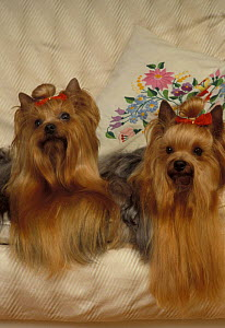 Domestic dogs, two Yorkshire Terriers lying on couch.  -  Adriano Bacchella