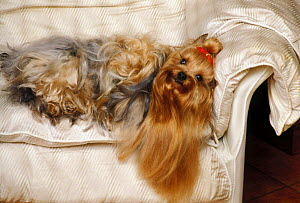 Domestic dog, Yorkshire Terrier lying on couch.  -  Adriano Bacchella