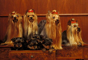Domestic dogs, four Yorkshire Terriers with four puppies in a drawer.  -  Adriano Bacchella
