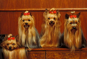 Domestic dogs, four Yorkshire Terriers sitting / lying down.  -  Adriano Bacchella