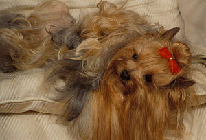 Domestic dog - Yorkshire Terrier lying on its back with hair tied up and very long hair.  -  Adriano Bacchella