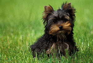 Domestic dog, Yorkshire Terrier puppy sitting in grass.  -  Adriano Bacchella