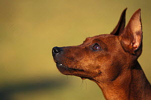 Domestic dog - Miniature Pinscher looking up.  -  Adriano Bacchella