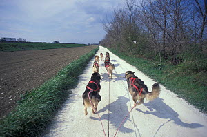 Domestic dogs, Huskies pulling sled down a path.  -  Adriano Bacchella