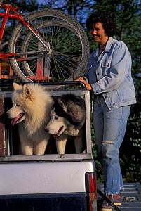 Woman and domestic dogs, Huskies, on truck with sled.  -  Adriano Bacchella