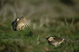 Sharp tailed grouse {Tympanuchus phasianellus} males fighting on lek, Colorado, USA - Shattil & Rozinski
