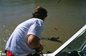 """Cameraman Richard Kirby baiting a Saltwater crocodile to encourage it to jump. On location for BBC television series """"Crocodiles"""", 1997. Adelaide river, Northern Territories, Australia  -  Richard Kirby"""