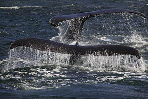 Tail flukes of two feeding Humpback whales (Megaptera novaeangliae), Antarctic peninsula. 2005  -  Sue Flood