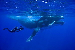 Doug Allan filming Humpback whale mother and calf (Megaptera novaeangliae), Kingdom of Tonga, South Pacific, for Planet Earth, Sept 2005.  -  Sue Flood