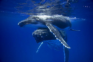 Humpback whale mother pushing  her calf up to the surface (Megaptera novaeangliae), Kingdom of Tonga, South Pacific. 2005  -  Sue Flood