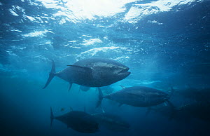 Bluefin tuna {Thunnus thynnus} captive in fish farm, Japan, 2000  -  Sue Flood