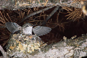 Broad tailed hummingbird chick exercising wings in nest {Selasphorus platycercus}  -  Shattil & Rozinski