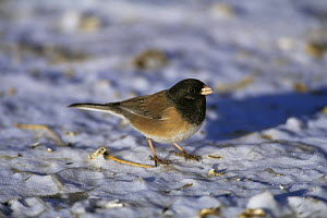 Dark eyed junco {Junco hyemalis} (Oregon race) on snow, Colorado, USA  -  Shattil & Rozinski