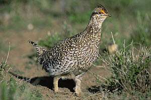 Columbian sharp tailed grouse {Tympanuchus phasianellus columbianus} USA - Shattil & Rozinski