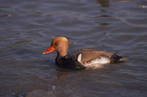 Red crested pochard {Netta ruffina} male, captive, from Eastern europe and Asia  -  Rod Williams