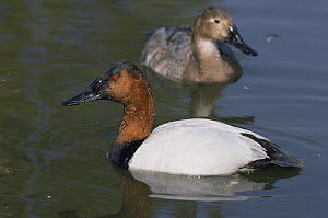 Canvasback duck {Aythya valisineria} male with female behind, captive, from North America  -  Rod Williams