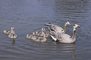 Bar headed goose {Anser indicus} pair on water with goslings, captive, from Asia  -  Rod Williams