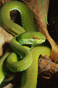 White lipped tree viper {Trimeresurus albolabris} Captive, from SE Asia - Rod Williams