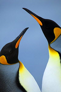 King penguins (Aptenodyes patagonicus) Falkland Islands - TJ Rich