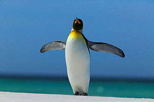 King penguin stretching wings (Aptenodytes patagonicus) Falkland Islands - TJ Rich